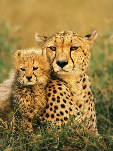Cheetah and Cub, Masai Mara Reserve, Kenya Premium fotografisk trykk
