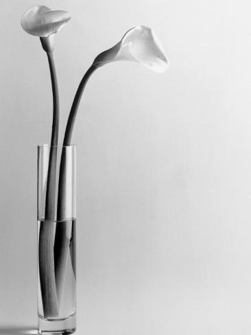 Calla Lilies in Vase Fotografisk tryk