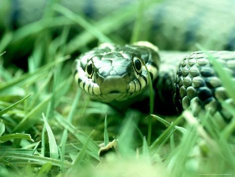 Grass Snake, Hampshire, UK Fotografisk trykk