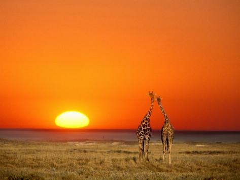 Giraffes Stretch their Necks at Sunset, Ethosha National Park, Namibia Fotografisk tryk