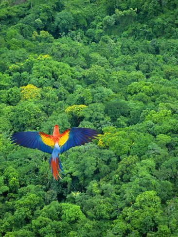 Scarlet Macaw Flying over Rainforest Fotografisk trykk
