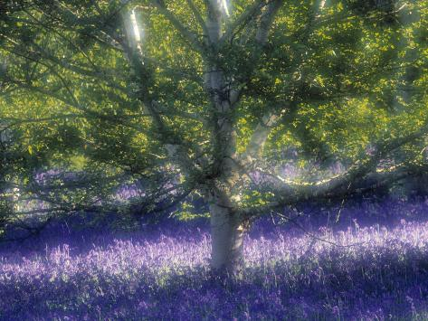 Bluebell and Silver Birch Fotografisk tryk