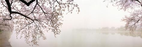 Kirsebærblomster ved søens bred, Washington DC, USA Wallstickers