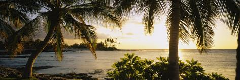 Palm Trees on the Coast, Kohala Coast, Big Island, Hawaii, USA Fotografisk trykk