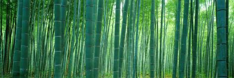 Bamboo Forest, Sagano, Kyoto, Japan Fotografisk trykk