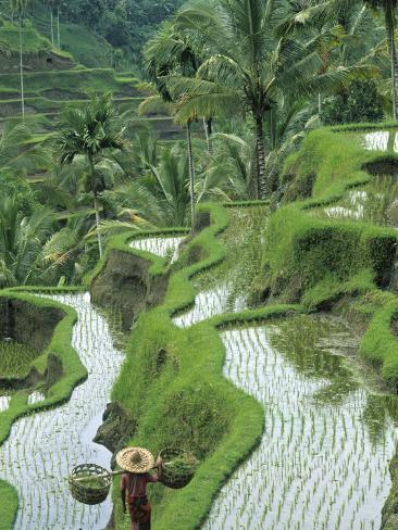 Rice Fields, Central Bali, Indonesia Fotografisk tryk