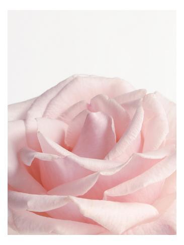 Powder Pink Rose I Wallstickers