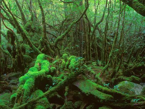 Yakushima Rainforest, Kagoshima, Japan Fotografisk tryk