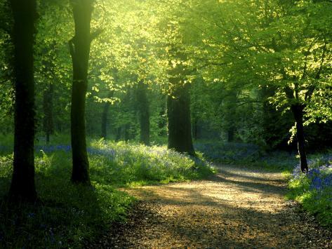 Spor fører gjennom bøkeskogen Lanhydrock med blåklokker om våren, Cornwall, Storbritannia Fotografisk trykk