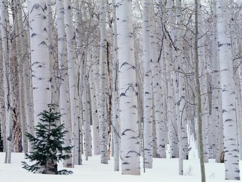 Aspen and Douglas Fir, Manti-Lasal National Forest, La Sal Mountains, Utah, USA Fotografisk trykk