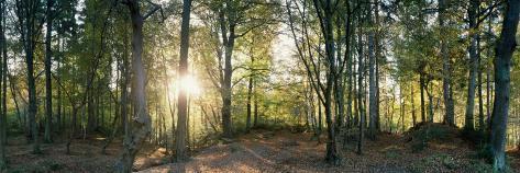 Trees in a Forest, Black Forest, Freiburg Im Breisgau, Baden-Wurttemberg, Germany Fotografisk trykk