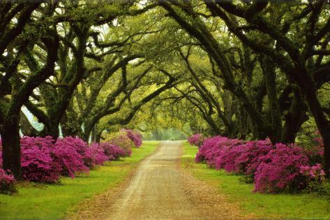 Vakker sti mellom trær og lilla asaleaer Plakat