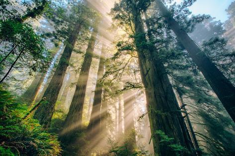 Divine Forest Light Coast Redwoods Del Norte California Fotografisk trykk