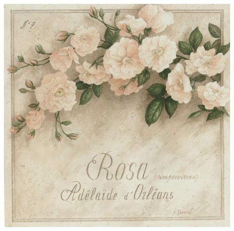 Rosa, Adelaide d' Orlean Kunsttrykk