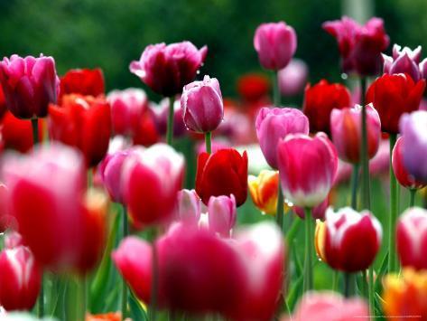 Regndråber glimter på blomstrende tulipaner på en mark nær Freiburg, Tyskland Fotografisk tryk