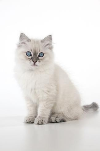 10 Week Old Ragdoll Kitten Fotografie-Druck