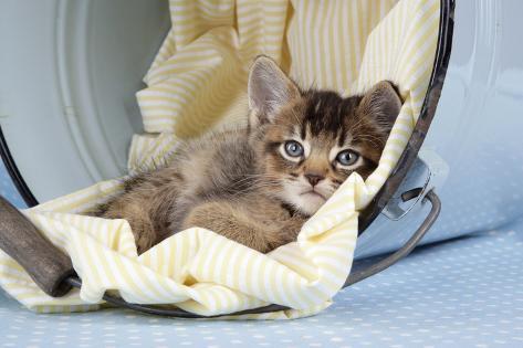 6 Week Old Somali Cross Asian Kitten in Bucket Fotografie-Druck