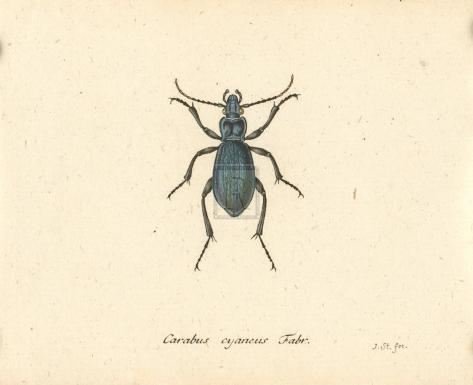 Carabus Cyaneus Giclée-Premiumdruck