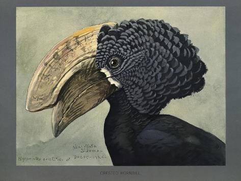 Abyssinian Crested Hornbill Giclée-Druck