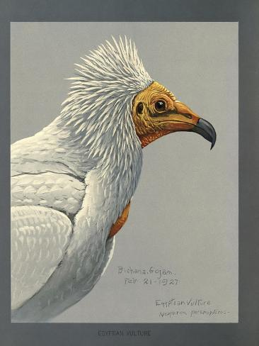 Abyssinian Egyptian Vulture Giclée-Druck