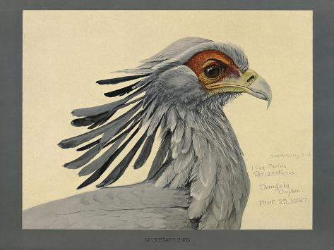 Abyssinian Secretary Bird Giclée-Druck