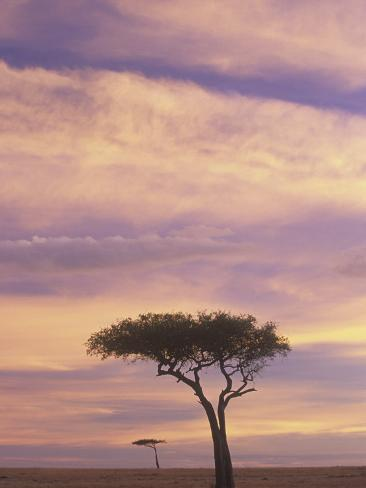 Acacia Trees Silhouetted at Twilight on the Savanna, Masai Mara Game Refuge, Kenya, Africa Fotografie-Druck