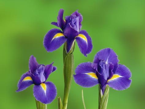 Iris bloemen fotoprint van adam jones bij - Langage des fleurs iris ...
