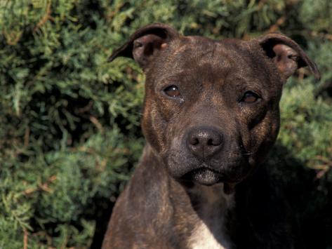 Staffordshire Bull Terrier Portrait Fotografie-Druck