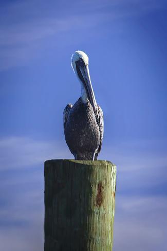Mr. Pelican I Fotografie-Druck