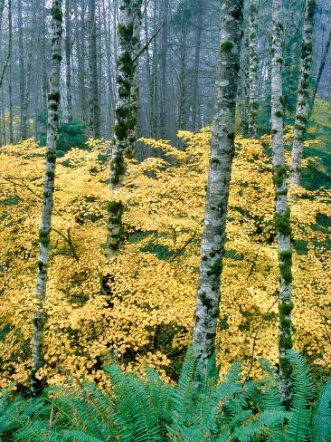 Alders and Vine Maples, Clatsop County, North Coastal Range, Oregon, USA Fotografie-Druck