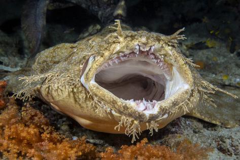 Tasseled Wobbegong Shark (Eucrossorhinus Dasypogon) Yawning Fotografie-Druck