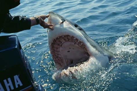 Weißer Hai Erstickt