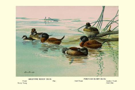 Argentine and Peruvian Ruddy Ducks Wandtattoo