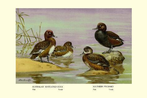 Australian White-Eyed and Southern Pochard Ducks Wandtattoo