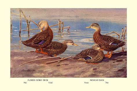 Florida Dusty and Mexican Ducks Wandtattoo
