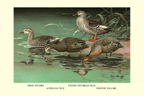 Four Duck Varieties Wandtattoo