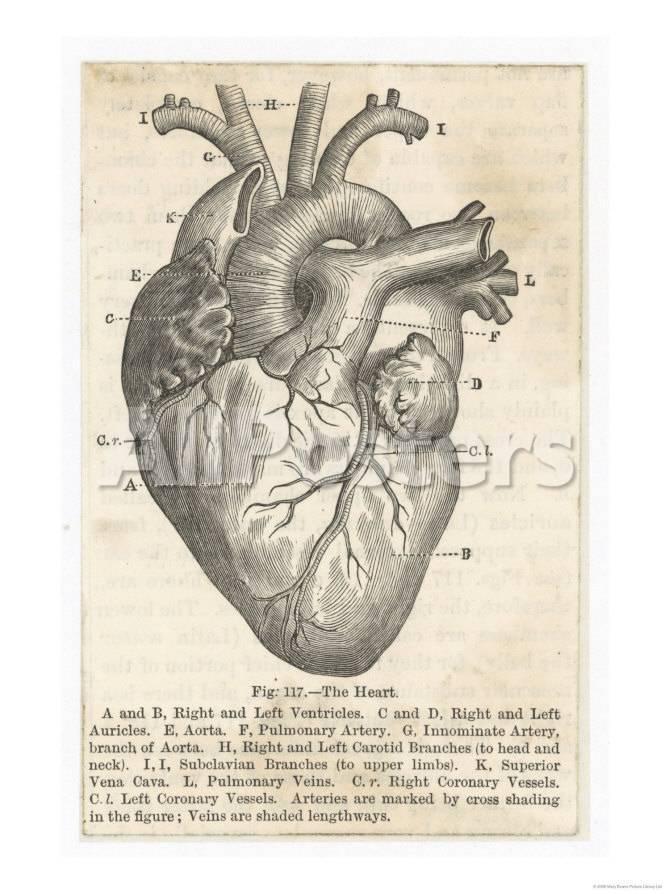 Anatomie des Herzens Giclée-Premiumdruck - bei AllPosters.ch