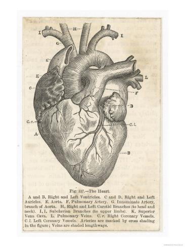 Anatomie van het hart, doorsnede met Engelse tekst Gicléedruk bij ...
