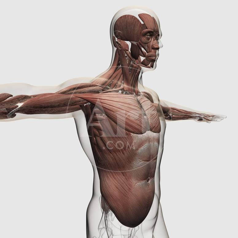 Anatomy of Male Muscles in Upper Body, Side View Poster bei ...