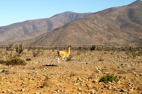 Llama in Punta De Choros, La Serena, Chile. Fotografie-Druck