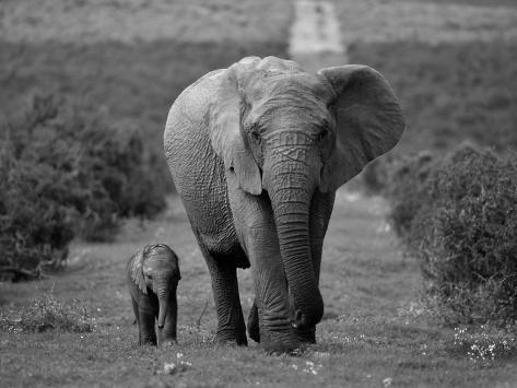 Mother and Calf, African Elephant (Loxodonta Africana), Addo National Park, South Africa, Africa Fotografie-Druck