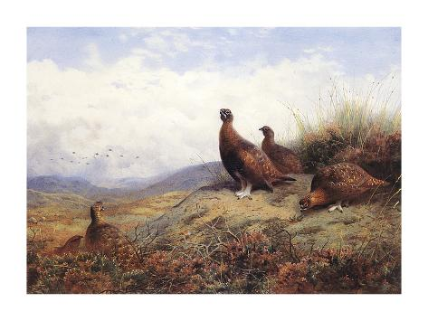 A Group of Red Grouse Giclée-Premiumdruck