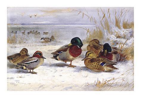 Ducks in Winter Giclée-Premiumdruck