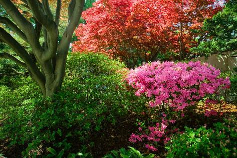 Azaleas in spring in National Arboretum, Washington D.C. Fotografie-Druck