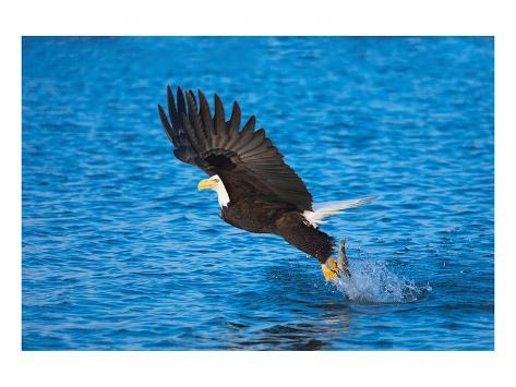 Bald Eagle Fish Talons Alaska Kunstdruck