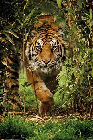 Bamboo Tiger Poster