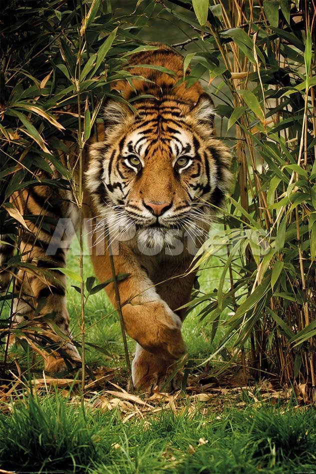 Bamboo Tiger Kunstdrucke bei AllPosters.de