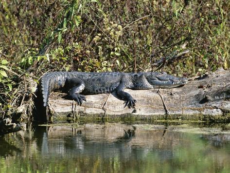 Alligator Basking on Tree Trunk, Belize Fotografie-Druck