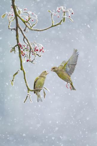 Greenfinch (Carduelis Chloris) Pair Fotografie-Druck