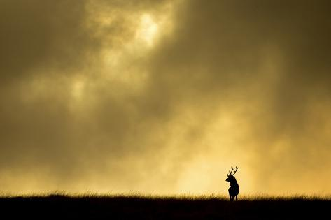 Red Deer Stag (Cervus Elaphus) Silhouetted Against Sky at Dusk, Cheshire, October 2014 Fotografie-Druck